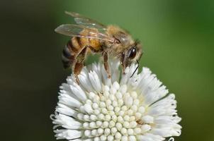 honingbij in bloem foto