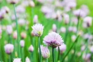 allium schoenoprasum foto