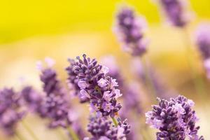 foto van lavendelbloesems.