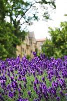 gebied van lavendel foto