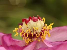 pioenroos bloem foto