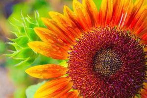 zonnebloem en en waterdruppels