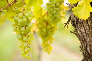 witte wijndruiven op wijngaard