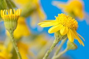 gele bloemen op een helderblauwe achtergrond foto