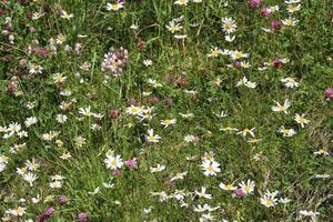kleurrijke wilde bloemen in de alpenweide, oostenrijk foto