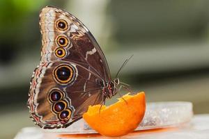 blauwe morphus vlinder foto