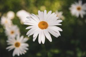 selectieve aandacht van daisy flower foto