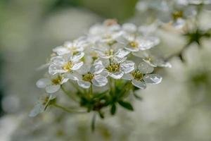 kleine witte bloemen