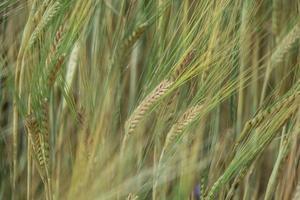 een graanveld