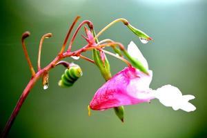 wilde orchidee foto
