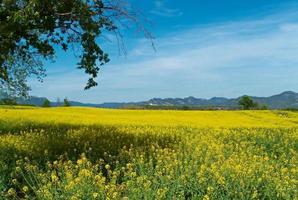 geel veld en blauwe lucht in de zomer foto