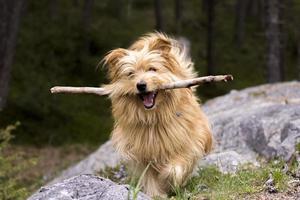 hond loopt met een stok foto