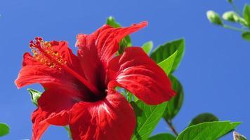 close-up van een hibiscusbloem foto