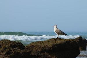 zeemeeuw zat op rots