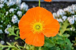 close-up van een oranje en gele papaver