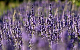 close-up van een veld met lavendel