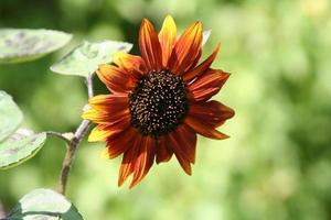 close-up van een rode zonnebloem