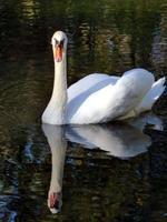 witte zwaan op water