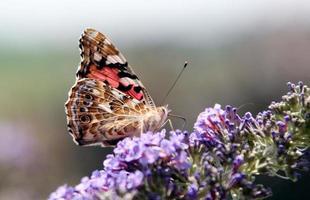 kleurrijke vlinder op paarse bloemen foto