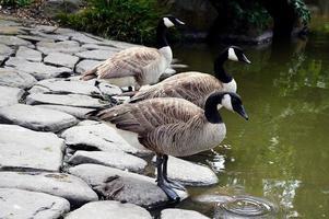drie ganzen bij vijver foto