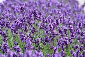 close-up van lavendel foto