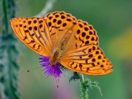 oranje vlinder op een distel foto