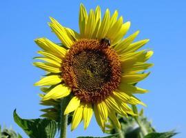close-up van een zonnebloem