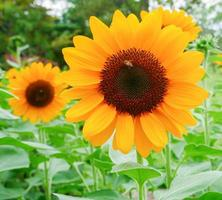 zonnebloemen bloeien in een tuin