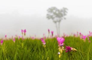 een veld van siam tulpen en mist foto