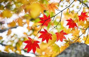 de rode esdoorn doorbladert in de herfstseizoen Japan foto