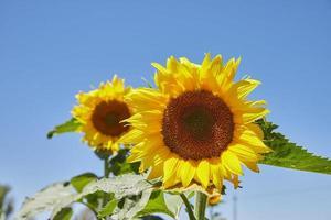 zonnebloemen in veld foto