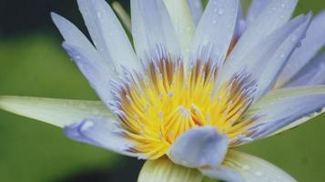 close-up van een blauwe en gele lotusbloem