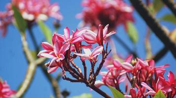 close-up van roze plumeria bloemen foto