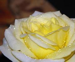 gele rozenblaadjes foto