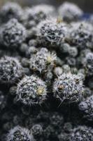 scherpe cactusnaalden foto
