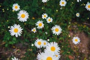 bovenaanzicht van madeliefjebloemen foto