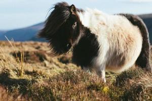 witte en zwarte ezel foto