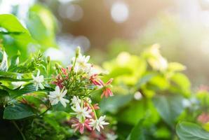 roze en witte chinese kamperfoeliebloemen in zonlicht