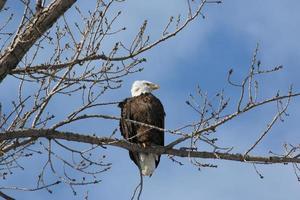 bald eagle zat op een boom foto