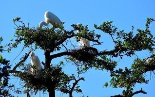 witte reigers op een boom foto