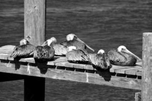 bruine pelikanen in florida foto
