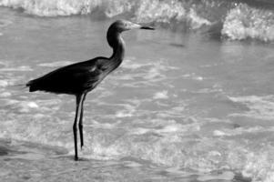 zilverreiger op de oceaan foto