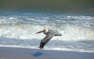 vliegende pelikaan op zee foto