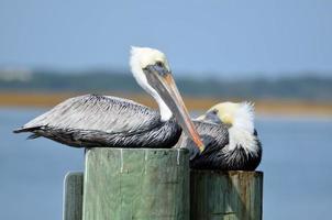bruine pelikanen rusten