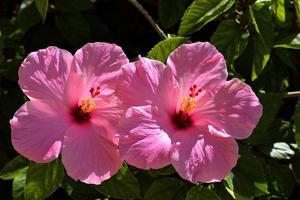 roze hibiscus in de tuin foto