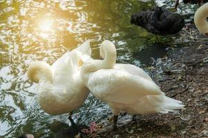 twee witte zwanen foto