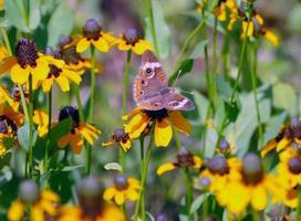vlinder op susans met zwarte ogen