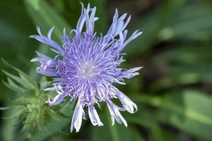 close-up van een blauwe wilde bloem