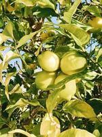groene vruchten op boom foto