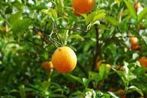 mandarijnboom in het park foto